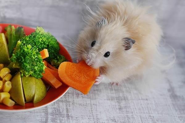 Hamster Angora tenant une carotte en forme de coeur