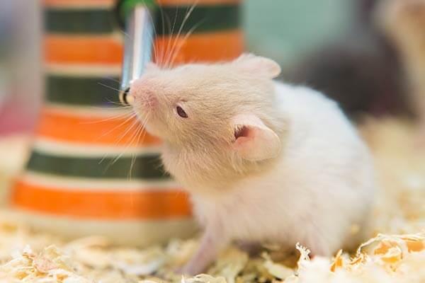 Hamster buvant au biberon