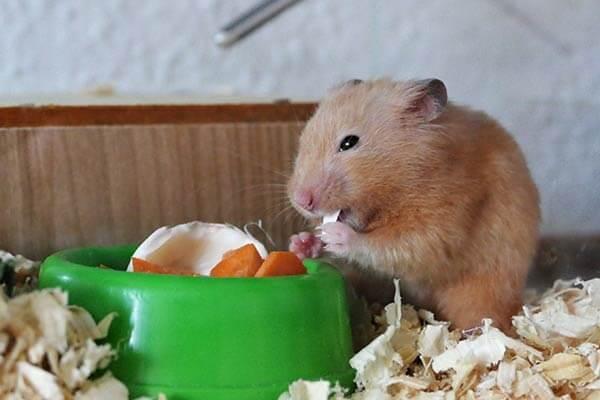 Hamster mange devant sa gamelle
