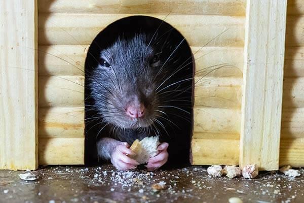 Rat qui grignote dans une cabane en bois