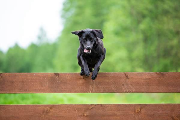Labrador retriever Noir passe au-dessus d'une barrière