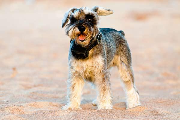 Terrier portant un GPS pour chien
