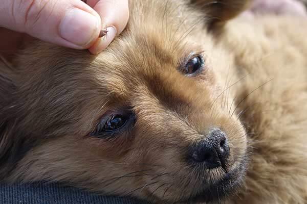 Main tenant une tique sur la tête d'un chien
