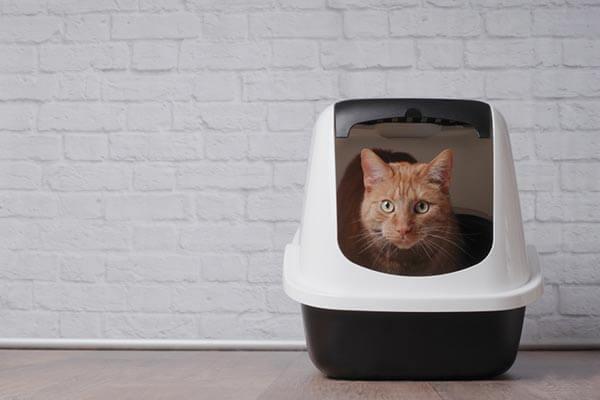 Chat roux dans une maison de toilette