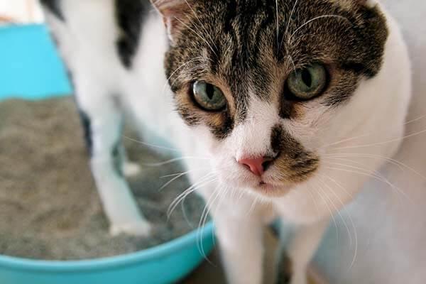 Chat dans un bac à litière turquoise