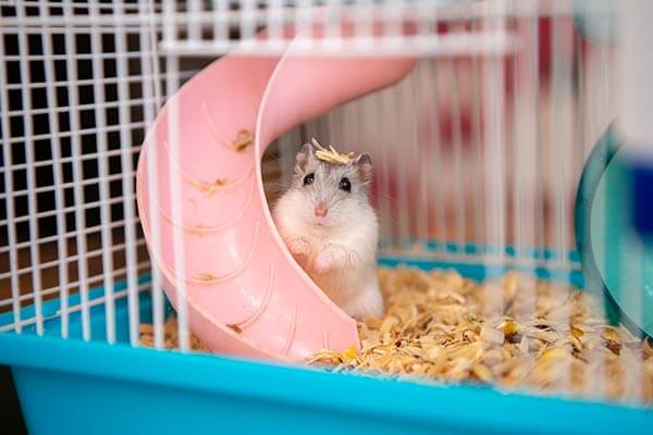 Hamster nain dans une cage