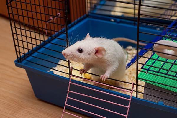 Rat regardant hors de sa cage