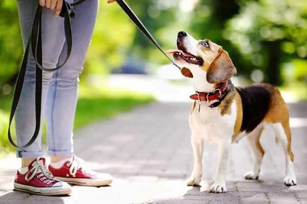 Un beagle en laisse regarde son maître debour à côté de lui
