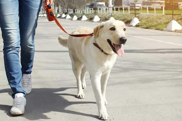 Maître promenant un labrador retriever