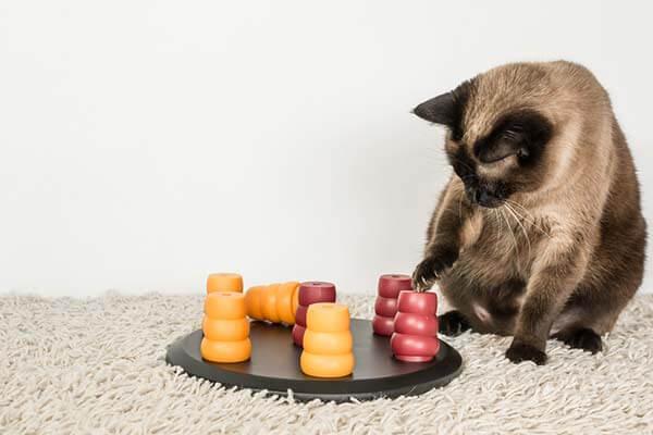 Chat siamois jouant avec un jeu d'intellignece pour récupérer une friandise