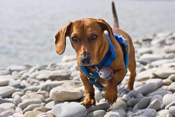 Teckel portant un harnais lors d'une balade sur une plage de galets