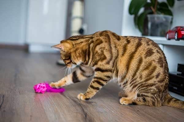 Chat bengal joue avec une jouet rose