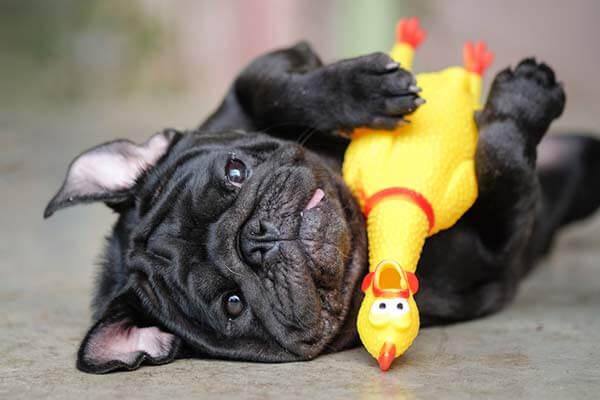 Carlin noir jouant avec un poulet couineur