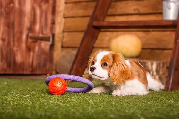 Chiot Cavalier King Charles allongé dans l'herbe avec des jouets