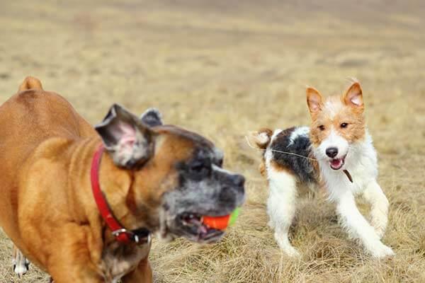 Un fox terrier et un boxer jouent ensemble à la balle