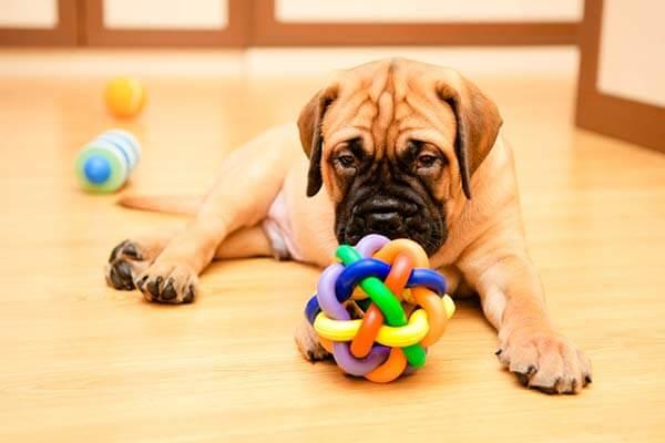 Chiot Bullmastiff jouant avec une balle en noeuds