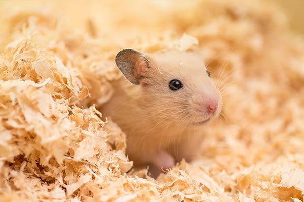 Hamster doré dans des copeaux de bois