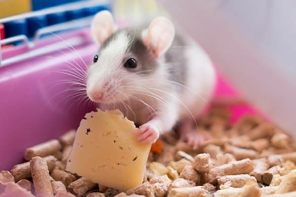 Rat dans une cage ayant une litière à base de pellets