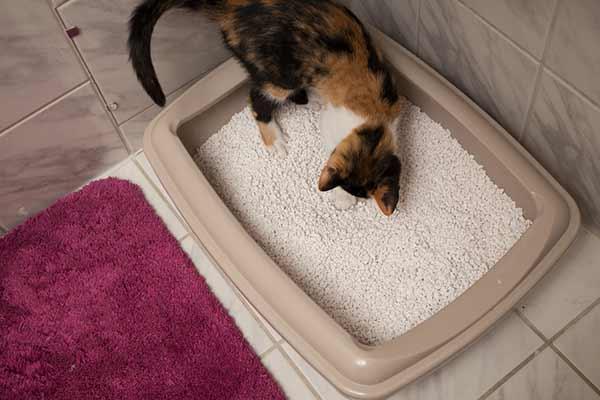 Chat dans un bac rempli de litière minérale