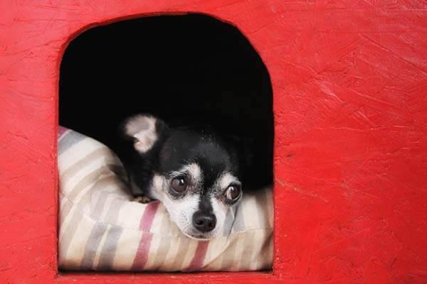 Chihuahua allongé sur un coussin dans une niche