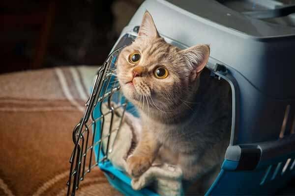 Chat dans caisse de transport ouverte