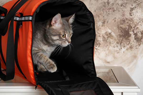 Chat sans un sac de transport posé sur une table