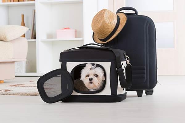 Bichon maltais dans un sac de transport