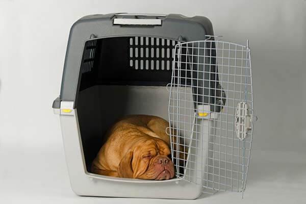 Dogue de Bordeaux endormi dans une caisse de transport