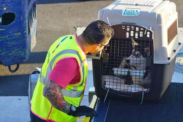 Husky dans une cage de transport homologuée prêt à embarquer dans l'avion