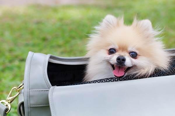 Petit chien dans un sac de transport